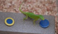 Brainy Lizards Pass Test for Birds